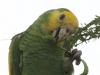Yellow schouldered Amazon
