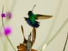 Kolibrier