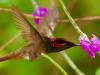 Mosquitokolibri