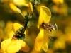 Honningbi